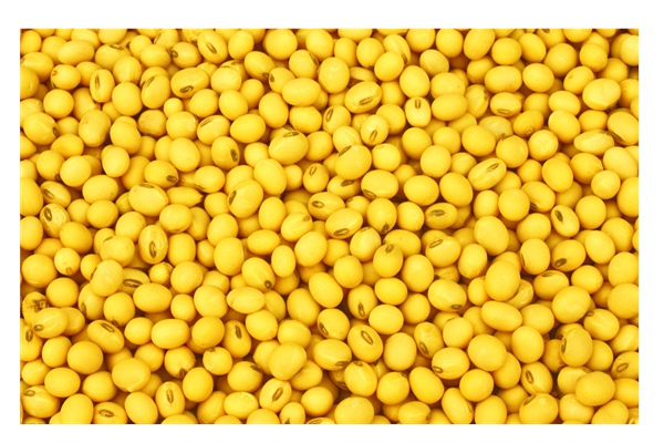 Soy Bean Extract