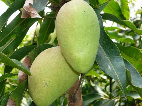 Wild Mango Extract